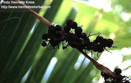 Serenoa repens (Bartram) Small