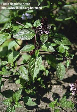Ocimum basilicum Benth.