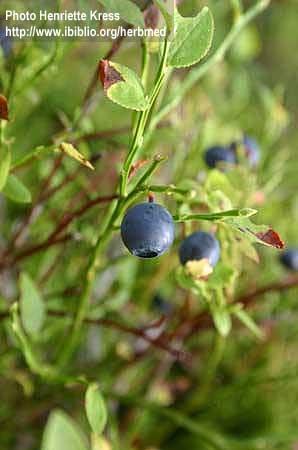Vaccinium mirtyllus L. (fructus)