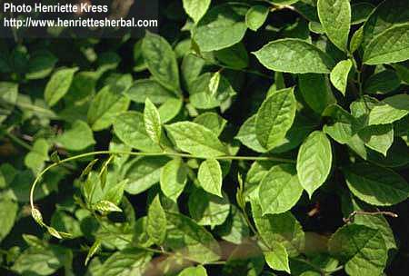 Schisandra chinensis (Turcz.) Baillon