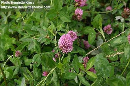 Trifolium pratese Gaudin