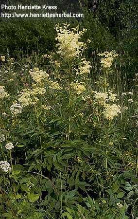 Filipendula ulmaria (L.) Maxim