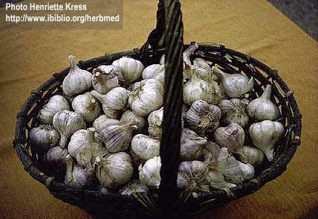 Allium sativum L.