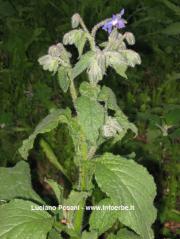 Borago officinalis L.(semen)