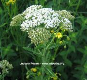 Achillea millefolium (Nutt.) Piper
