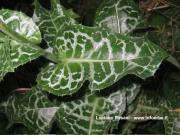 Silybum marianum (L.) Gaertn