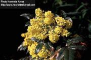 Mahonia aquifolia (Lindl.) Don