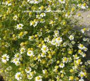 Matricaria chamomilla auct.