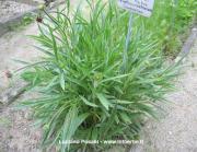 Echinacea angustifolia (DC) Heller
