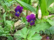 Viola tricolor DC