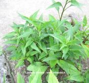 Echinacea purpurea (L.) Moensch