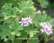 Pelargonium graveolens L.