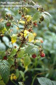 Rubus idaeus (H. Lev.) Focke