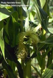 Zea mays L. subsp. mays