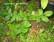 Agrimonia eupatoria L.