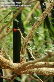 Commiphora myrrha (Ness) Engl