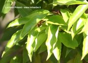 Cinnamomum camphora (L.) Nees. & Ebermeier OE