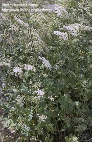 Pimpinella anisum L.