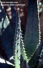 Aloe ferox Miller (latex)