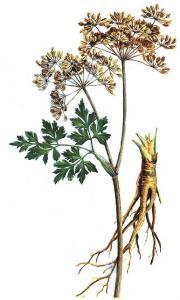Illustrazione Angelica sinensis Diels