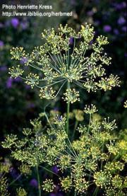 Anetum graveolens L.