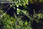 Betula pubescens Ehrhart