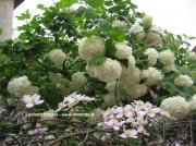 Viburnum opulus Endl.