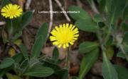 Hieracium pilosella L.