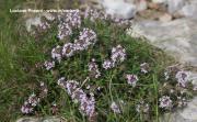 Thymus vulgaris Benth.