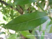 Salix alba (Hartig) Rehder
