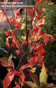 Euonymus atropurpurenus Jacq.