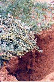 Harpagophytum procumbens (Burch.) D.C. Ex Meisn.