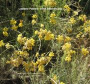 Helichrysum italicum (Roth) G. Don.