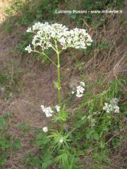 Valeriana officinalis L. s.l.