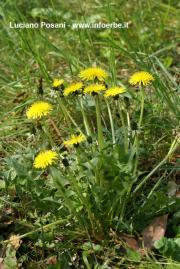 Taraxacum officinalis  Weber ex F. H. Wigg S.I. (radix)