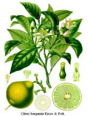 Citrus bergamia Risso et Poit.