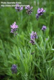 Lavandula angustifolia Miller