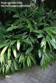 Elettaria cardamomum L.