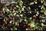 Arctostaphylos uva ursi (L.) Spreng.