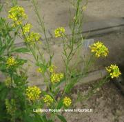 Brassica nigra (L.) W. D. J.Koch