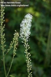 Cimicifuga racemosa L.